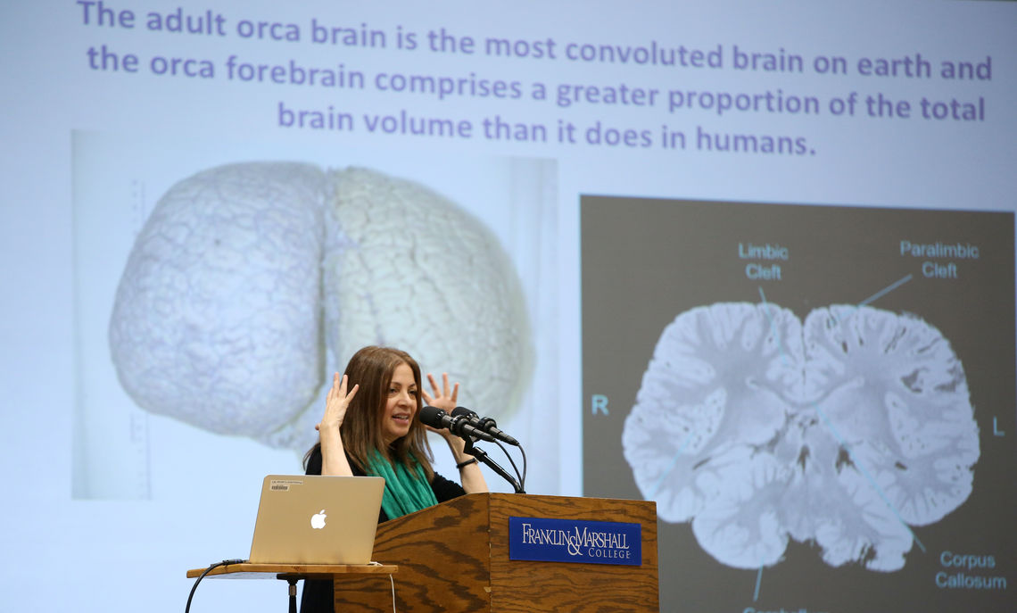 "Orcas and beluga whales have large, complex brains with expanded neocortexes. ""We love the features of our brain — but the orca has us beat,"" Marino said."