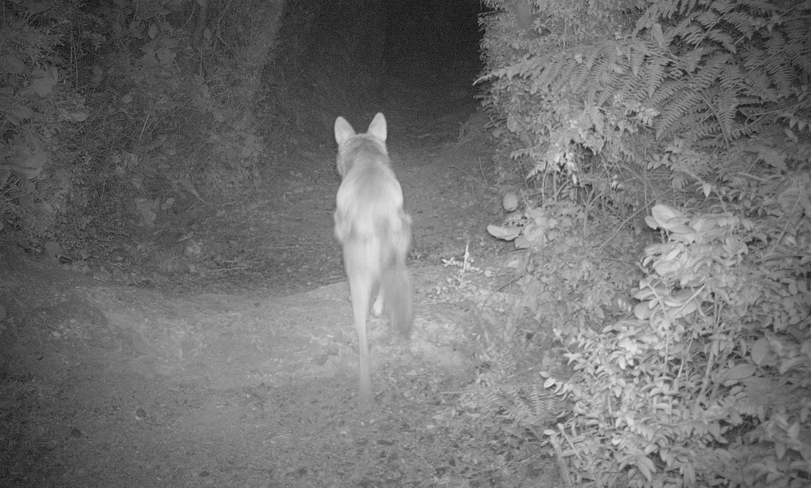 Coyote in Andy's Marine Park