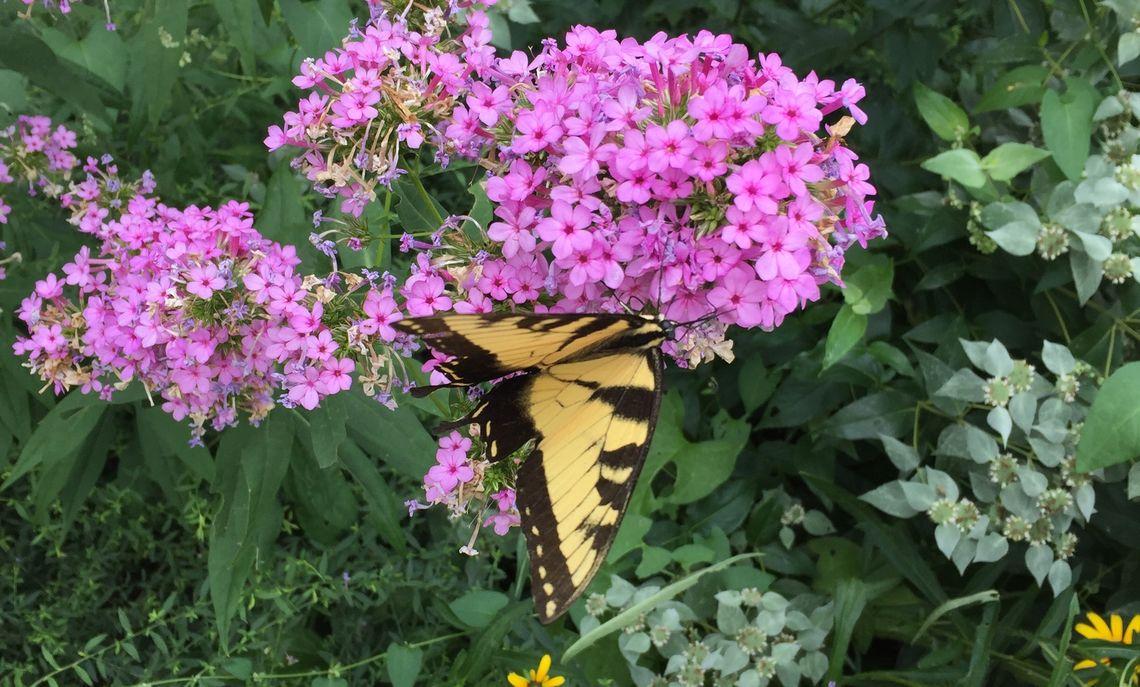tiger stripe swallow tail butterfly in brooks pollinator garden