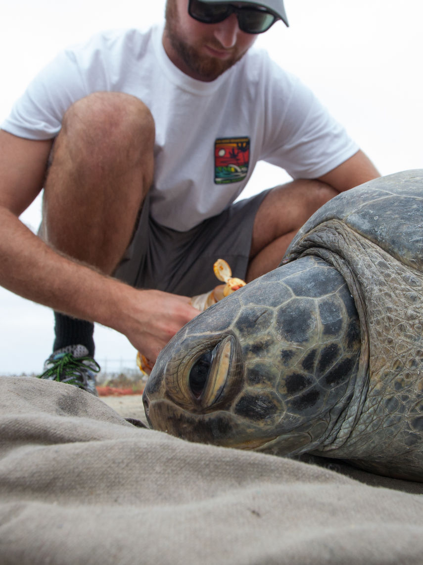 As a volunteer field research assistant, Steinwurtzel examines a green sea turtle as part of a NOAA study on turtles foraging in San Diego Bay. (Image taken under NMFS Permit # 14510)