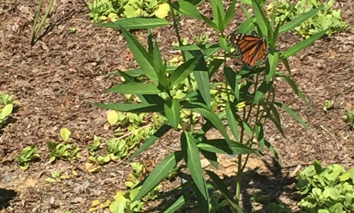 Monarch Butterfly on milkweed in Sustainability center native pollinator garden