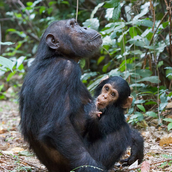 Baby chimpanzee and mother in Gombe.