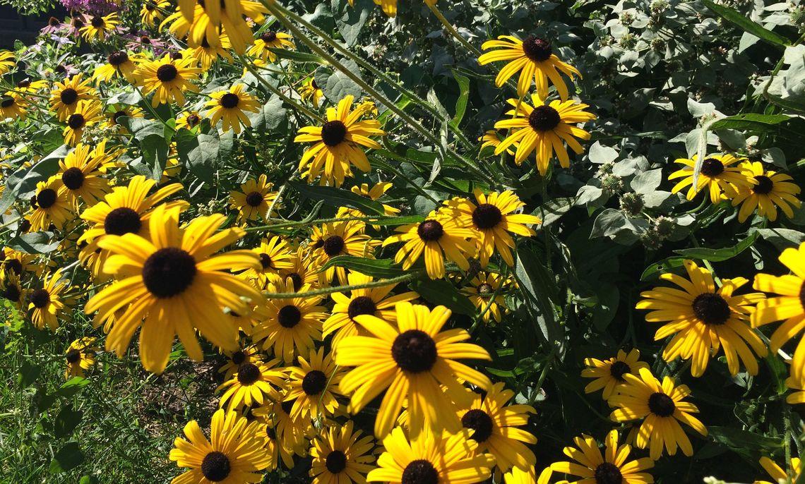 some black eyed susans at the brooks pollinator garden