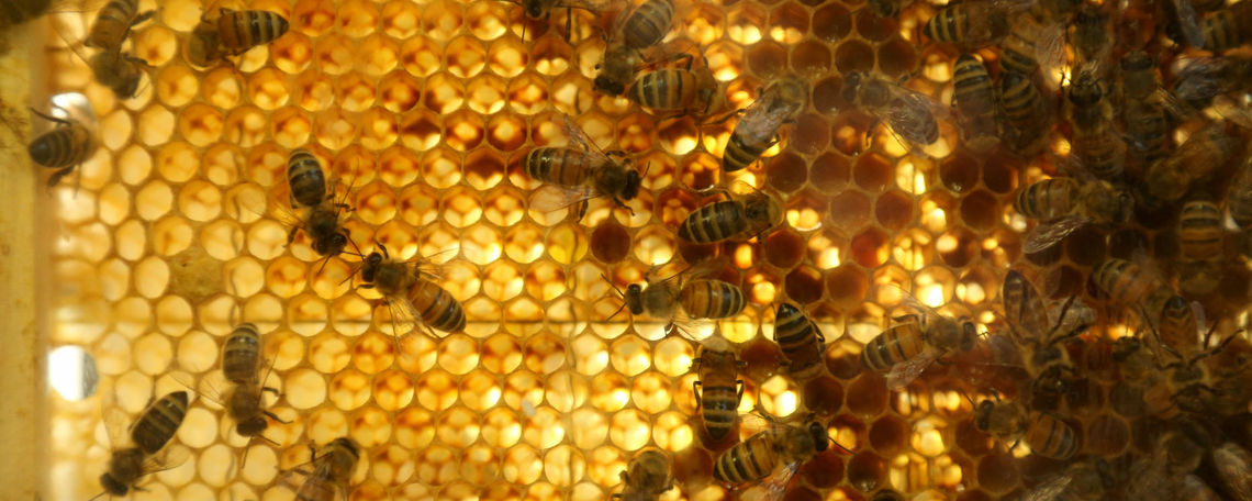 A look inside the hive, where the bees are hard at work.