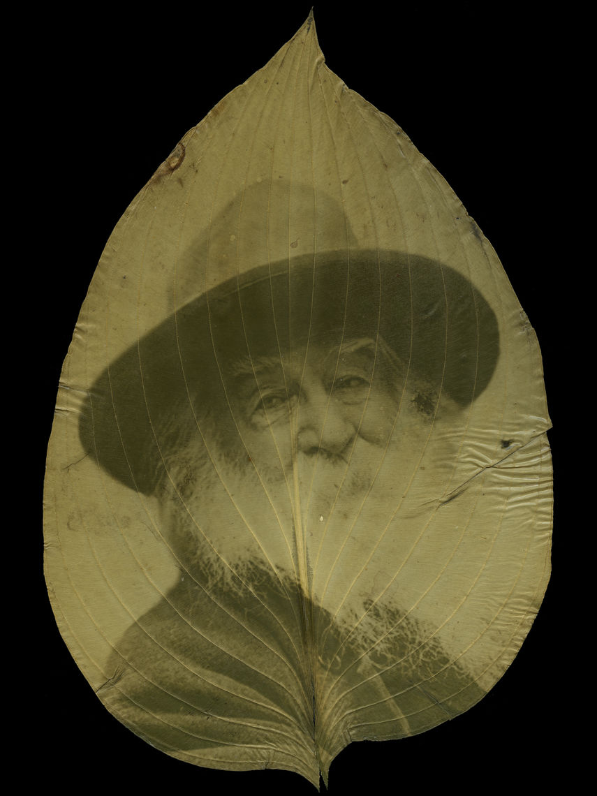 Binh Danh, Walt Whitman, 1887, in Camden House, 2011, chlorophyll print and resin on hosta leaf, image from the Liljenquist Family Collection of Civil War Photographs, Library of Congress, courtesy of the artist