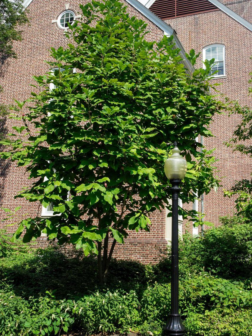 Franklin Marshall Cucumber Tree Magnolia Magnolia Acuminata