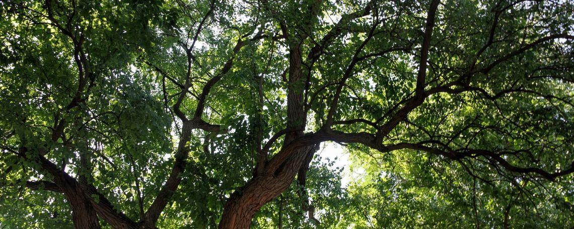 F&M Arboretum tree picture