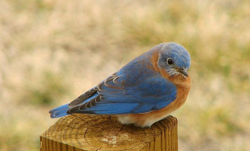 A bluebird, one of the customers who the bird boxes are designed to serve.