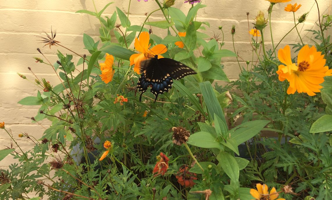 A black swallowtail butterfly at residential pollinator garden