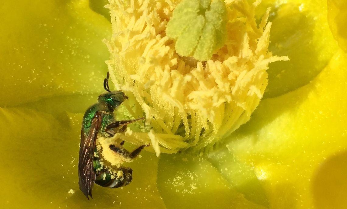 A green bee feeding on pollen.
