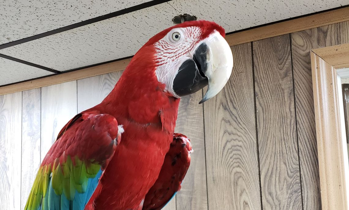 Roger, a bird currently up for adoption!