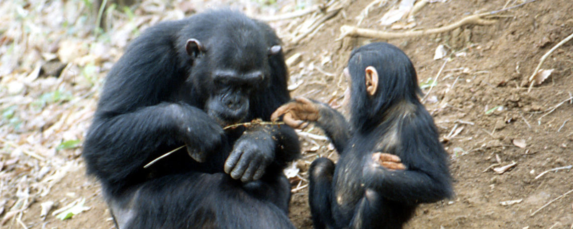 Some of the Gombe chimpanzees that Professor Elizabeth Lonsdorf studies.