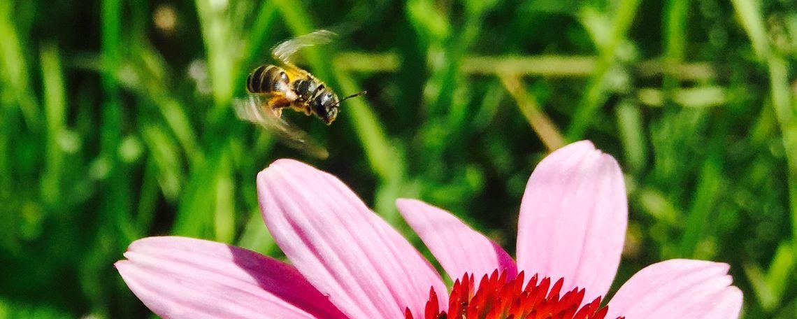 looking for pollen