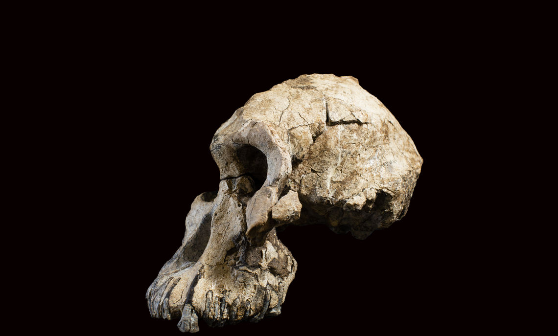 "Profile of the 3.8 million-year-old cranium found in Ethiopia and known as ""MRD."""