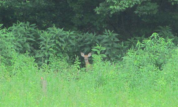 Deer at Spalding Conservancy