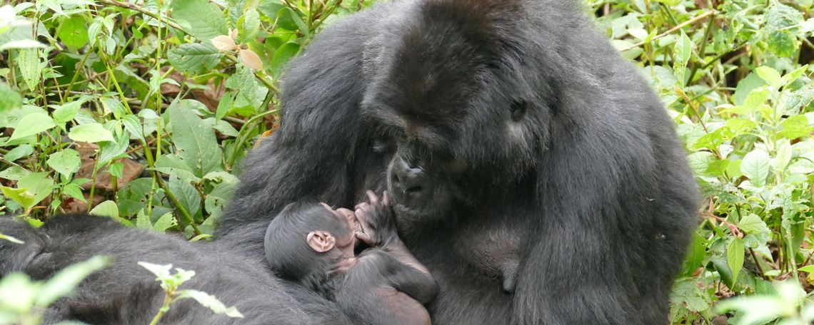 Betina, one of the African apes in the study, nurses a newborn.