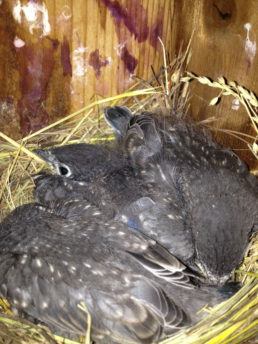 Baby bluebirds were born at Millport in June. (Photo by Jeff Musser)