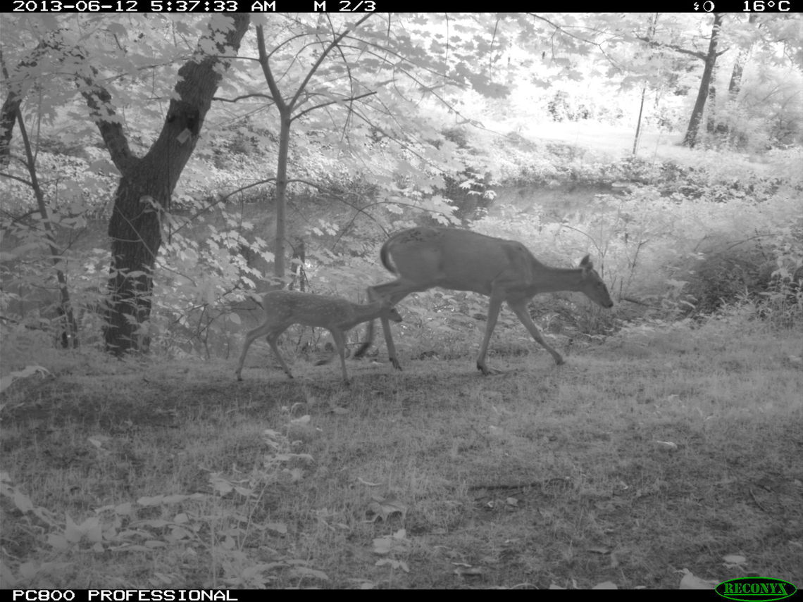 The nighttime camera captured a fawn and doe walking in the Conservancy woods. (Photo courtesy of the researchers)