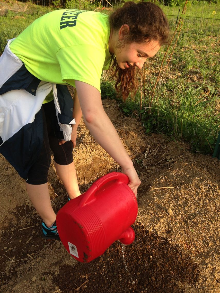 Sophomore Briana Krewson, early last summer, watering lentils that she used as a cover crop to nitrogen-fixate the soil before planting cabbage and broccoli.